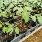 【随時更新】トマトとメロンの苗の生育情報